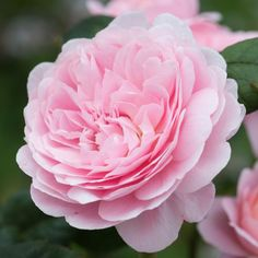 QUEEN OF SWEDEN  English Rose - bred by David Austin