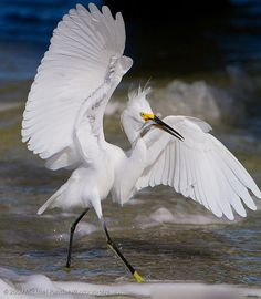Snow egret with fish  Sanibel Island by Michael Pancier Photography