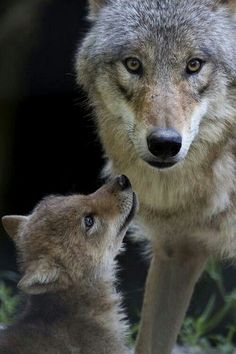 Mama & baby wolf together in the wild