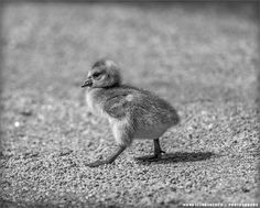 Serious chick by Maurizio Di Renzo on Black N White Images, Black And White, Free Black, Cute Animal Pictures, Guitar Amp, Canada Goose, Color Splash, Cute Animals, Birds