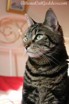 Athena, Cat Goddess  #catblog #tabbycat #cats