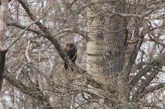 Ural Owl; Oeral Uil; Strix uralensis by jwsteffelaar, via Flickr