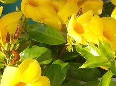 National flower of U.S. Virgin Islands - Ginger Flower