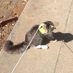 My parents won't let me have a dog so I have to work with what Iv got.   http://ift.tt/1SdSEqy via /r/cats http://ift.tt/1VkmHNx  cats funny pictures