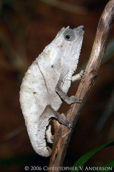 Rhampholeon (Rhampholeon) spectrum (Cameroon Pygmy Chameleon) by Christopher V. Anderson, via Flickr