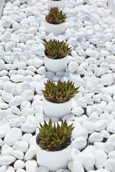 white pebbles + agave plants