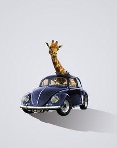 girafa ambulanta