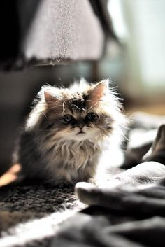 Kitty Love :: Funny Cutest + Most Adorable :: Free your Wild :: See more Kittens + Cats Fluffy Kittens, Cute Kittens, Cats And Kittens, Fluffy Cat, Pretty Cats, Beautiful Cats, Animals Beautiful, Baby Animals, Funny Animals