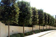 "Beautiful box shaped ""Quercus Ilex"" trees (aka: Holm Oak, Azinheira)."