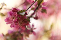 pink spring by martan aka  flowers