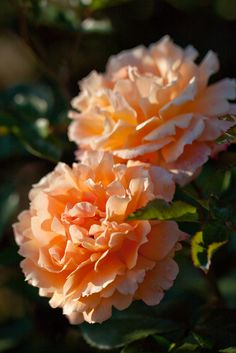 'Manyo' | Floribunda Rose. Keisei Rose Nursery (Japan, 1988) | Flickr - © Yoko Nekonomania