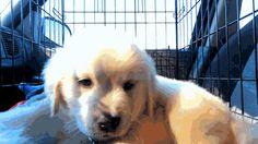 8 weeks old Golden Retriever puppy