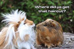 """""""Where did you get that hair cut?"""" The guinea pig likes the hair cut,"""