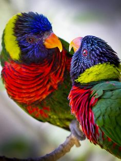 We can't get enough of this stunning shot  of two brilliant colored Lorikeets chatting on a branch! (Photo: Paul E. M.)