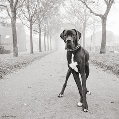 Great dane..strong face