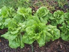 Buttercrunch lettuce - Love this lettuce.  Great for salads and sandwiches.