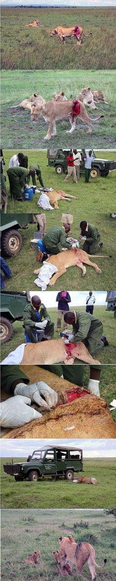 Mending a wounded lioness