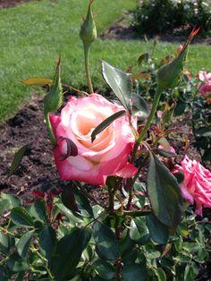 Rose Garden @ Lake Harriet Minneapolis, MN