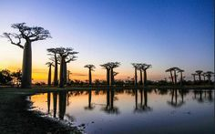 . Photograph by @ (Jianzhong Li). The sunset of baobab avenue in Madagascar. #baobab #landscape #madagascar #tree #africa #sunset by discovery.hd