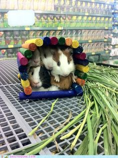 Now we know where all the Guinea pig parties are happening. Looks like a pretty popular spot