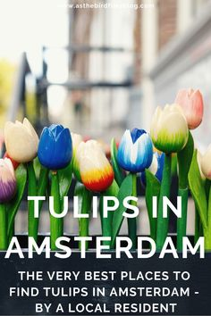 A Local's Guide to How To Find Tulips in Amsterdam / Amsterdam Tulips / Tulpen Amsterdam / Tulpen Netherlands / Tulip Fields near Amsterdam / Tulip Fields in Amsterdam / Tulips in the Netherlands / Flower Fields near Amsterdam / Tulips Amsterdam / Spring Flowers Amsterdam Amsterdam Tulips, Amsterdam Travel Guide, Tulip Fields, Travel Advice, Spring Flowers, Netherlands, I Am Awesome, Tulips, The Nederlands