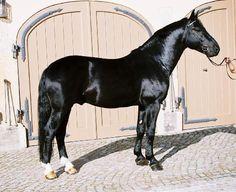 Saxony-Thuringian Heavy Warmblood stallion Elixier