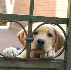 "Obtain excellent tips on ""labrador retriever dogs"". They are actually offered for you on our internet site. Raza Labrador, Labrador Puppies, Corgi Puppies, Puppies And Kitties, Cute Puppies, Cute Dogs, Doggies, Golden Retriever, Labrador Retrievers"