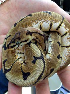 Spider royal python at Northampton Reptile Centre (ball python).