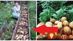 Zemiaky sadím až v júni a úrodu mám dvakrát väčšiu ako sused: Urobte to presne takto a tešte sa na obrovské, zdravé zemiaky! Pumpkin, Gardening, Outdoor, Garden, Vegetable Garden, Outdoors, Pumpkins, Lawn And Garden, Outdoor Games