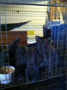 Wild Vitality Rabbitry - American Blue Rabbits