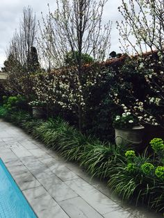 Poolside  - with Liriope Border and Pear Trees. White Garden | Nadia Gill Landscape Architect