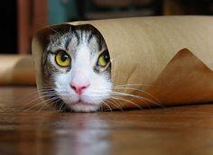 cat roll maki