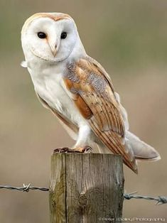 Barn Owl Pictures, Owl Photos, Lechuza Tattoo, Animals And Pets, Cute Animals, Tyto Alba, Owl Cat, Owl Tattoo Design, Crows Ravens