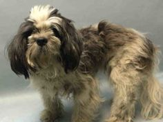 RETURN!! Brooklyn Center PRINCE – A0966820  **RETURNED 09/12/16**  NEUTERED MALE, WHITE / BLACK, SHIH TZU MIX, 4 yrs STRAY – STRAY WAIT, HOLD FOR ID Reason STRAY Intake condition EXAM REQ Intake Date 09/12/2016, From NY 11208, DueOut Date 09/15/2016,