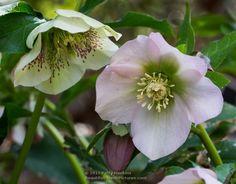 Cuaresma Roses - helleborus orientalis