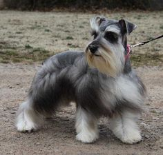 LOOK HOW HANDSOME THIS SCHNAUZER IS!!!