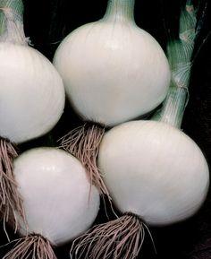 Onion 'Texas Early White'