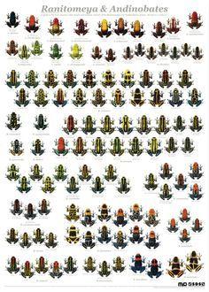Variation in Thumbnail dart frogs, Ranitomeya + Andinobates