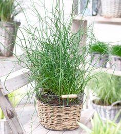 Big Twister Grass