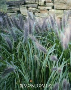 GROW IT!  Black Flowering Fountain Grass! Its spectacular & long blooming black flower heads make this a unique selection in the garden! Excellent attractive fall color & winter interest, too! BONUS: Deer resistant! Height: 2-3′/Width: 2-3′; Hardiness zone: 5-9 ✿✿✿