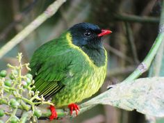 Green-and-black Fruiteater (Pipreola riefferii) South America