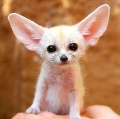 Baby Fennec Fox.   11 Adorable Baby Animals