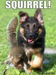 german shepherd humor | squirrel german shepherd puppy..