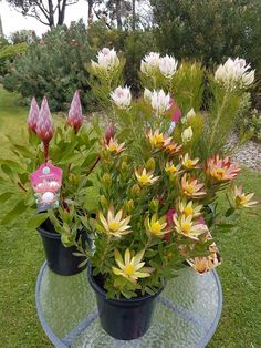 Growing Proteaflora Plants in Pot Australian Native Garden, Australian Native Flowers, Australian Plants, Seaside Garden, Coastal Gardens, Small Yard Landscaping, Tropical Landscaping, Exotic Plants, Exotic Flowers