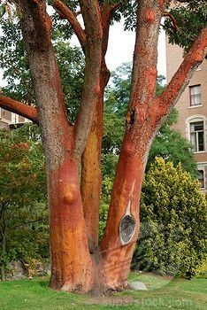 PACIFIC MADRONE TREE IMAGES | Stock Photo - Three-trunked Pacific Madrone or Strawberry Tree Arbutus ...