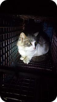 Stafford, VA - Maine Coon. Meet Wendylyn, a cat for adoption. http://www.adoptapet.com/pet/16797158-stafford-virginia-cat