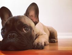 Archer, the French Bulldog Puppy❤