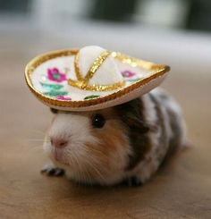I have a pet guinea pig that I love oh so much.