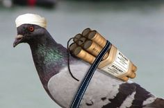 India; Police Detain Pigeon with Hostile Note for PM Narendra Modi