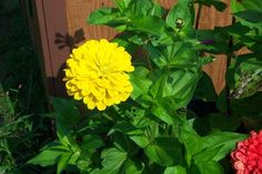Zinnias - for cut flowers and pollinators